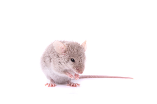 rat and mouse control services in los angeles ca